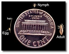 Head Lice Compared to Penny