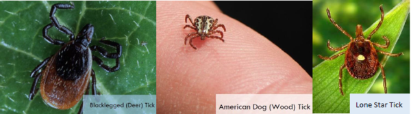 Picutre of blacklegged and american dog and lone star ticks