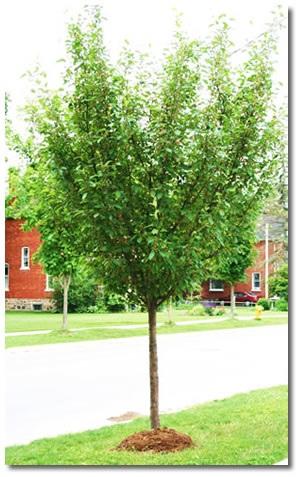 Boulevard-Tree